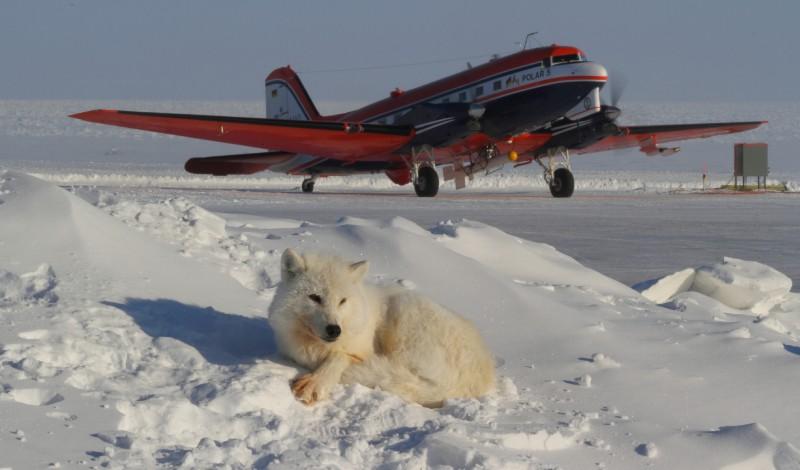 Polar 5 rollten zum Start. Vorne ein Polarwolf, den das menschliche Treiben in seinem Revier interessiert. (#2)